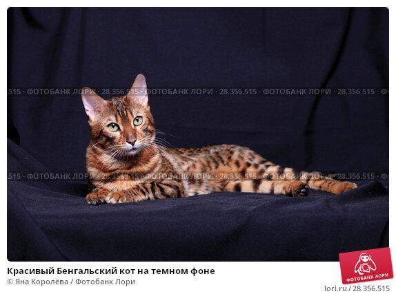 Купить «Красивый Бенгальский кот на темном фоне», фото № 28356515, снято 30 апреля 2018 г. (c) Яна Королёва / Фотобанк Лори