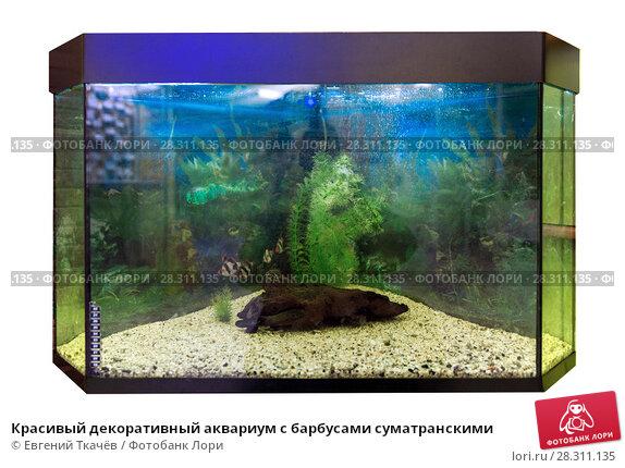 Купить «Красивый декоративный аквариум с барбусами суматранскими», фото № 28311135, снято 22 февраля 2018 г. (c) Евгений Ткачёв / Фотобанк Лори
