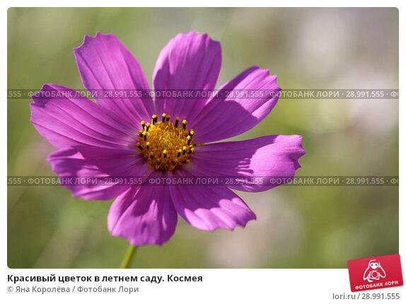 Купить «Красивый цветок в летнем саду. Космея», фото № 28991555, снято 25 августа 2018 г. (c) Яна Королёва / Фотобанк Лори