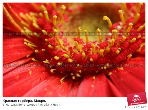 Красная гербера. Макро., фото № 273627, снято 3 мая 2008 г. (c) Наталья Белотелова / Фотобанк Лори