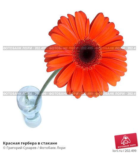 Красная гербера в стакане, фото № 202499, снято 29 мая 2017 г. (c) Григорий Сухарев / Фотобанк Лори