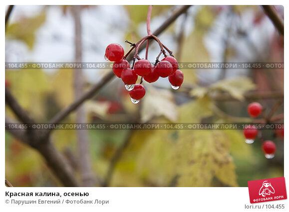 Красная калина, осенью, фото № 104455, снято 7 декабря 2016 г. (c) Парушин Евгений / Фотобанк Лори