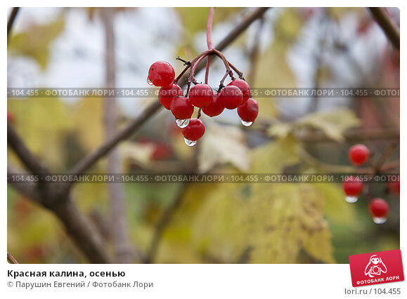 Красная калина, осенью, фото № 104455, снято 25 апреля 2017 г. (c) Парушин Евгений / Фотобанк Лори