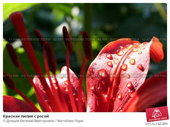 Красная лилия с росой, фото № 43499, снято 25 июля 2006 г. (c) Донцов Евгений Викторович / Фотобанк Лори