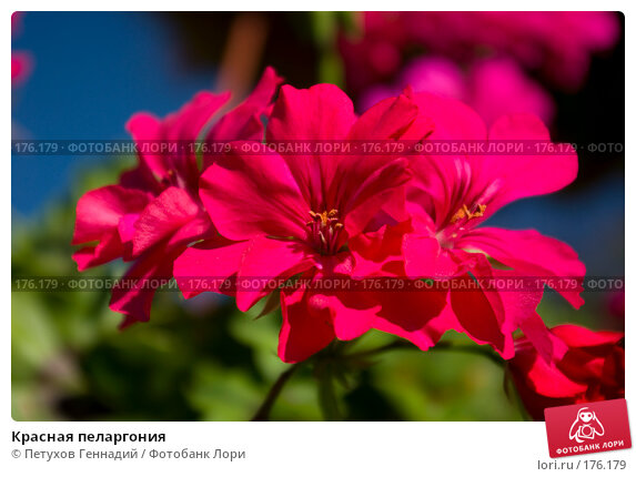 Красная пеларгония, фото № 176179, снято 23 июня 2007 г. (c) Петухов Геннадий / Фотобанк Лори