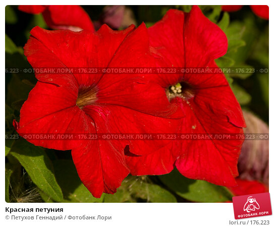 Красная петуния, фото № 176223, снято 24 июля 2007 г. (c) Петухов Геннадий / Фотобанк Лори