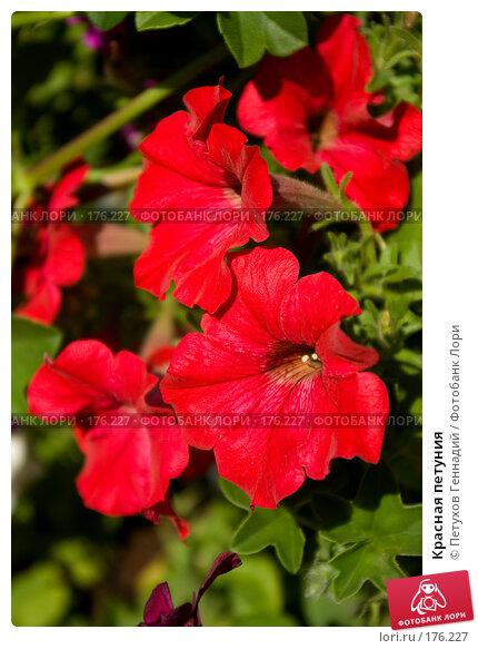 Красная петуния, фото № 176227, снято 23 июня 2007 г. (c) Петухов Геннадий / Фотобанк Лори
