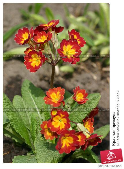 Красная примула, фото № 164655, снято 28 апреля 2007 г. (c) Елена Блохина / Фотобанк Лори
