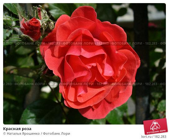 Красная роза, фото № 182283, снято 27 мая 2007 г. (c) Наталья Ярошенко / Фотобанк Лори