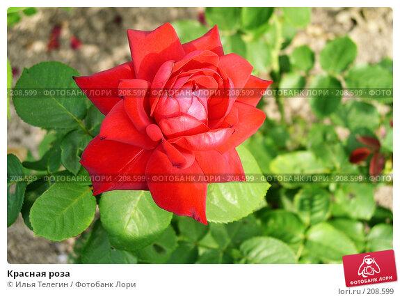 Купить «Красная роза», фото № 208599, снято 23 июля 2004 г. (c) Илья Телегин / Фотобанк Лори