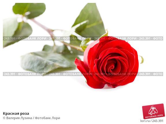 Красная роза, фото № 243391, снято 28 августа 2007 г. (c) Валерия Потапова / Фотобанк Лори