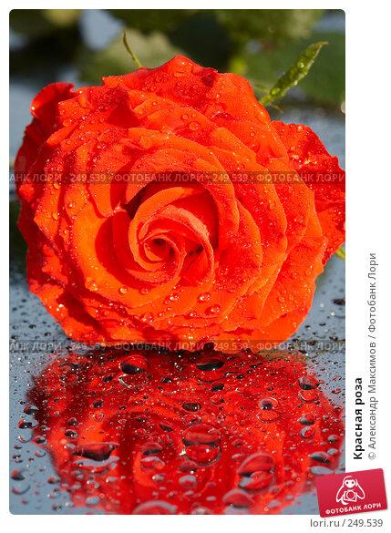 Красная роза, фото № 249539, снято 29 апреля 2006 г. (c) Александр Максимов / Фотобанк Лори