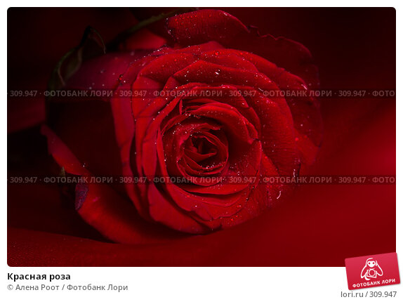 Красная роза, фото № 309947, снято 30 марта 2007 г. (c) Алена Роот / Фотобанк Лори