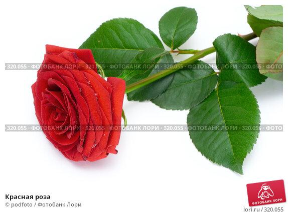 Красная роза, фото № 320055, снято 31 августа 2007 г. (c) podfoto / Фотобанк Лори