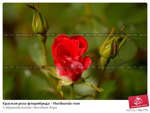 Красная роза флорибунда  - Floribunda rose, фото № 186779, снято 6 июля 2007 г. (c) Абрамова Ксения / Фотобанк Лори