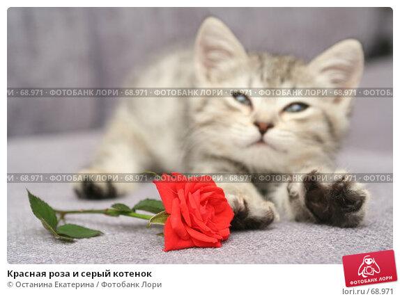 Красная роза и серый котенок, фото № 68971, снято 23 июля 2007 г. (c) Останина Екатерина / Фотобанк Лори