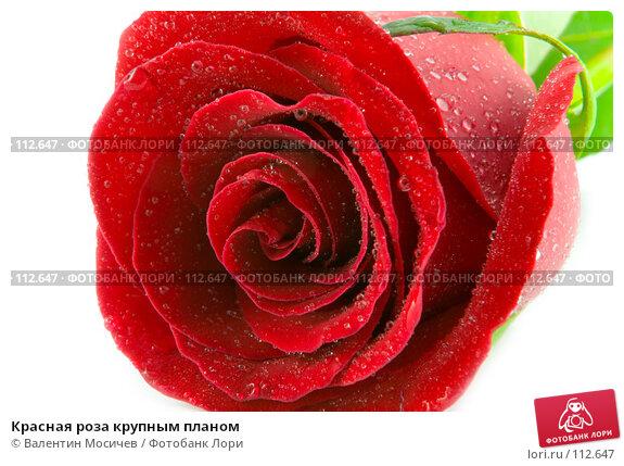 Красная роза крупным планом, фото № 112647, снято 10 февраля 2007 г. (c) Валентин Мосичев / Фотобанк Лори