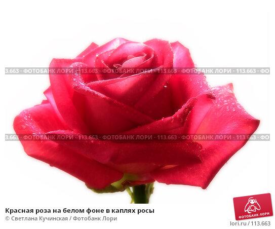 Красная роза на белом фоне в каплях росы, фото № 113663, снято 20 июля 2017 г. (c) Светлана Кучинская / Фотобанк Лори