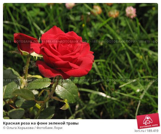 Красная роза на фоне зеленой травы, фото № 189419, снято 19 августа 2007 г. (c) Ольга Хорькова / Фотобанк Лори