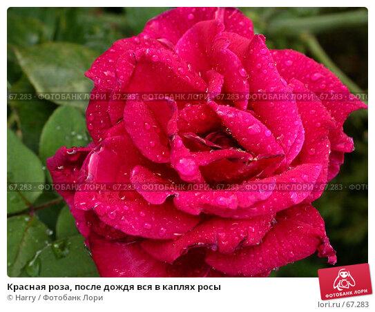 Красная роза, после дождя вся в каплях росы, фото № 67283, снято 2 сентября 2005 г. (c) Harry / Фотобанк Лори