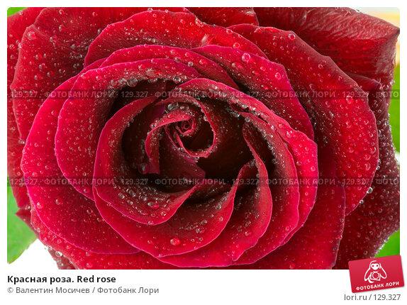 Красная роза. Red rose, фото № 129327, снято 3 марта 2007 г. (c) Валентин Мосичев / Фотобанк Лори