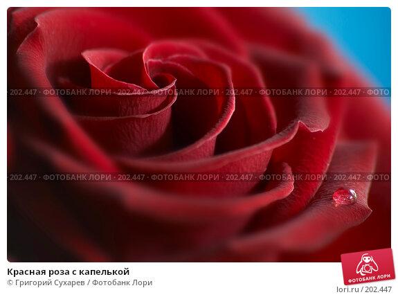 Красная роза с капелькой, фото № 202447, снято 20 сентября 2007 г. (c) Григорий Сухарев / Фотобанк Лори
