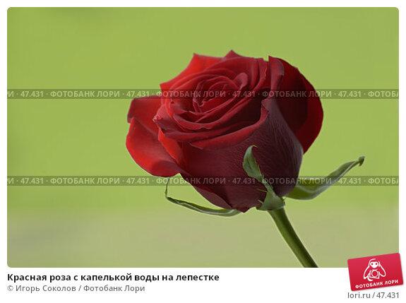 Купить «Красная роза с капелькой воды на лепестке», фото № 47431, снято 23 апреля 2018 г. (c) Игорь Соколов / Фотобанк Лори