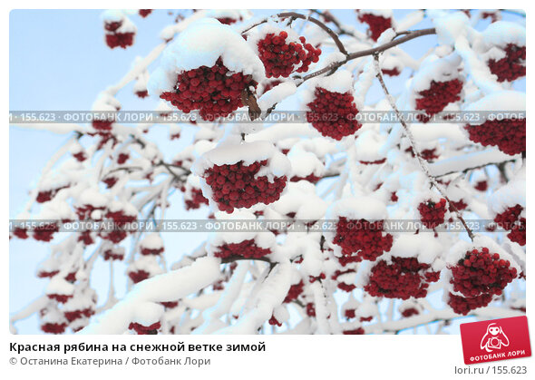 Красная рябина на снежной ветке зимой, фото № 155623, снято 13 декабря 2007 г. (c) Останина Екатерина / Фотобанк Лори