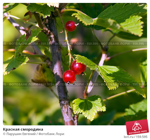 Красная смородина, фото № 159595, снято 27 мая 2017 г. (c) Парушин Евгений / Фотобанк Лори