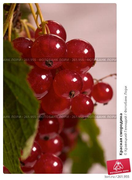 Красная смородина, фото № 261955, снято 21 июля 2004 г. (c) Кравецкий Геннадий / Фотобанк Лори