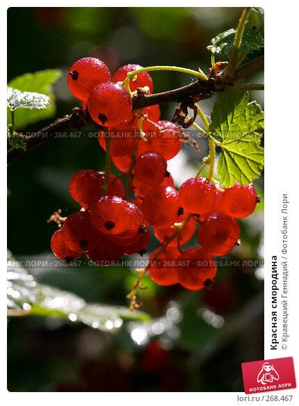 Купить «Красная смородина», фото № 268467, снято 28 июня 2004 г. (c) Кравецкий Геннадий / Фотобанк Лори