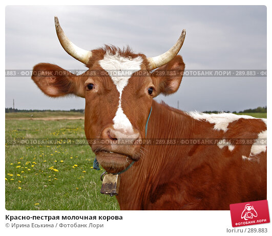 Красно-пестрая молочная корова, фото № 289883, снято 18 мая 2008 г. (c) Ирина Еськина / Фотобанк Лори