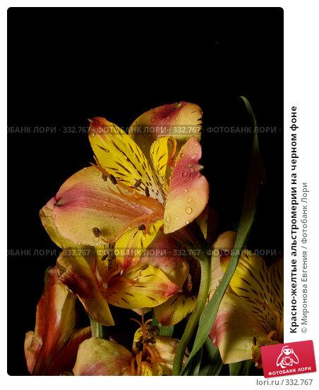 Красно-желтые альстромерии на черном фоне, фото № 332767, снято 23 июня 2008 г. (c) Миронова Евгения / Фотобанк Лори