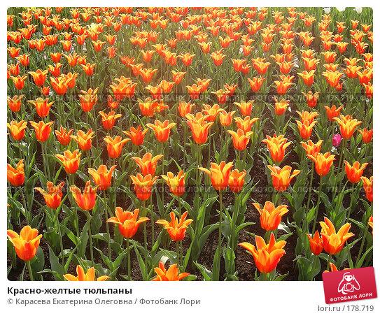 Купить «Красно-желтые тюльпаны», фото № 178719, снято 7 января 2005 г. (c) Карасева Екатерина Олеговна / Фотобанк Лори