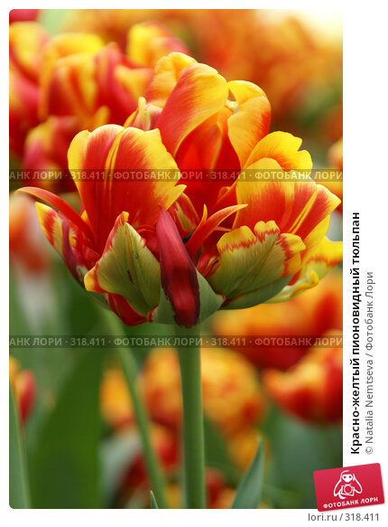 Красно-желтый пионовидный тюльпан, эксклюзивное фото № 318411, снято 8 апреля 2008 г. (c) Natalia Nemtseva / Фотобанк Лори
