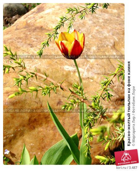 Красно-желтый тюльпан на фоне камня, фото № 3487, снято 23 мая 2017 г. (c) Маргарита Лир / Фотобанк Лори