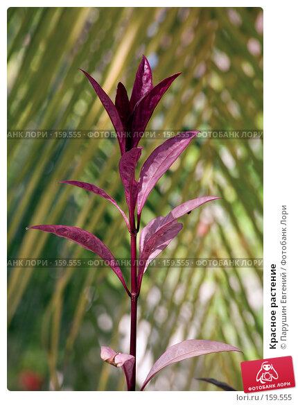 Купить «Красное растение», фото № 159555, снято 23 апреля 2018 г. (c) Парушин Евгений / Фотобанк Лори