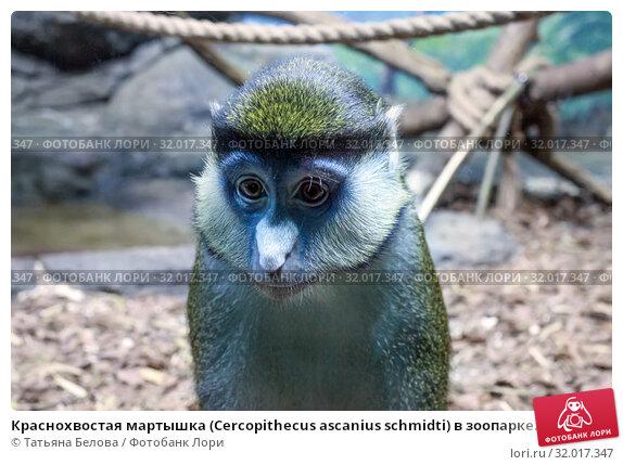 Купить «Краснохвостая мартышка (Cercopithecus ascanius schmidti) в зоопарке. Грустный портрет», фото № 32017347, снято 18 февраля 2019 г. (c) Татьяна Белова / Фотобанк Лори
