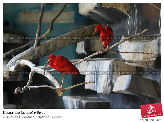 Красные (алые) ибисы, фото № 206423, снято 14 апреля 2006 г. (c) Кирилл Николаев / Фотобанк Лори