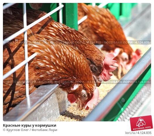 Купить «Красные куры у кормушки», фото № 4124835, снято 26 мая 2018 г. (c) Круглов Олег / Фотобанк Лори
