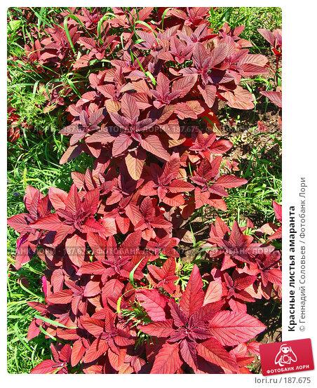 Красные листья амаранта, фото № 187675, снято 24 июля 2007 г. (c) Геннадий Соловьев / Фотобанк Лори