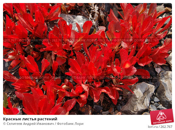 Красные листья растений, фото № 262767, снято 26 августа 2007 г. (c) Селигеев Андрей Иванович / Фотобанк Лори