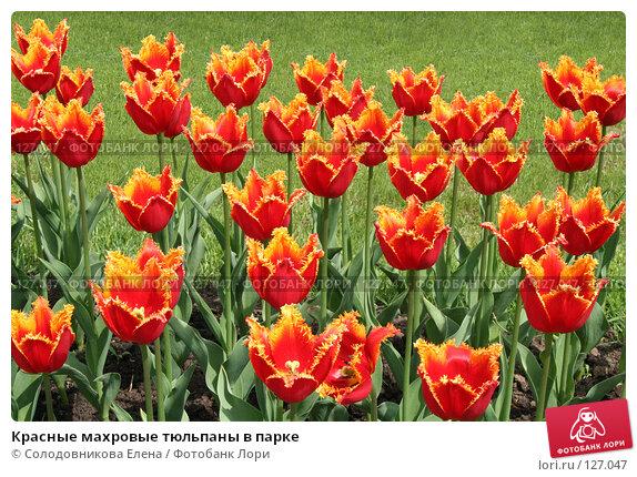 Красные махровые тюльпаны в парке, фото № 127047, снято 24 мая 2006 г. (c) Солодовникова Елена / Фотобанк Лори