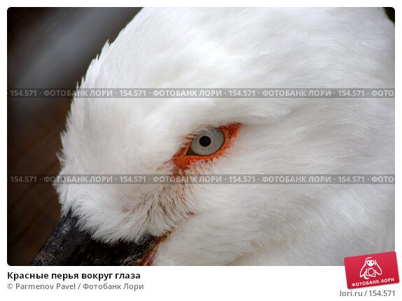 Купить «Красные перья вокруг глаза», фото № 154571, снято 11 декабря 2007 г. (c) Parmenov Pavel / Фотобанк Лори