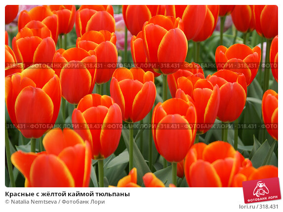 Красные с жёлтой каймой тюльпаны, эксклюзивное фото № 318431, снято 8 апреля 2008 г. (c) Natalia Nemtseva / Фотобанк Лори