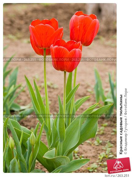 Купить «Красные садовые тюльпаны», фото № 263251, снято 26 апреля 2008 г. (c) Владимир Гуторов / Фотобанк Лори
