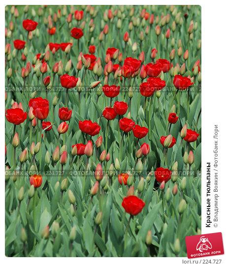 Красные тюльпаны, фото № 224727, снято 5 мая 2005 г. (c) Владимир Воякин / Фотобанк Лори