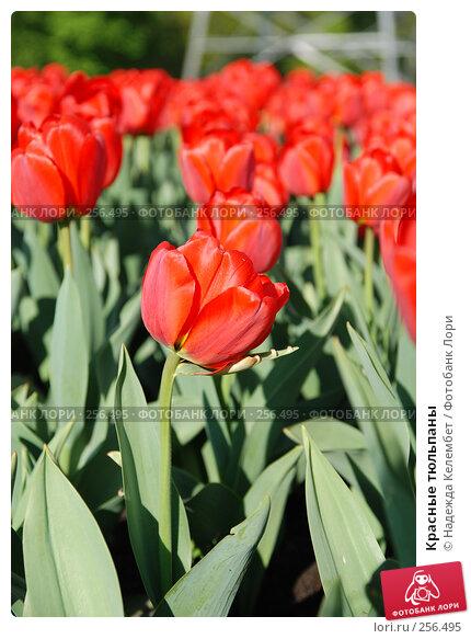 Красные тюльпаны, фото № 256495, снято 13 мая 2007 г. (c) Надежда Келембет / Фотобанк Лори