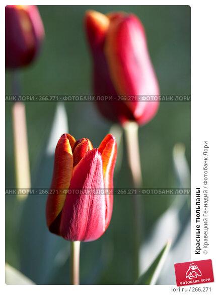 Красные тюльпаны, фото № 266271, снято 8 мая 2005 г. (c) Кравецкий Геннадий / Фотобанк Лори