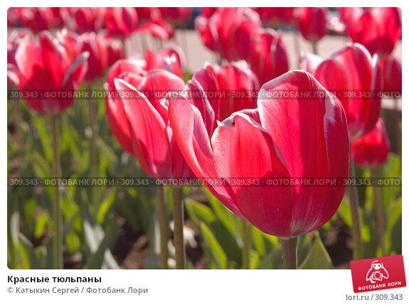 Купить «Красные тюльпаны», фото № 309343, снято 23 мая 2008 г. (c) Катыкин Сергей / Фотобанк Лори